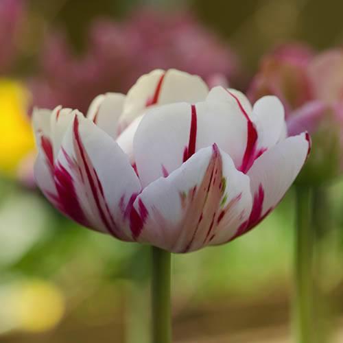 Tulip Tulipa Carnaval de Nice