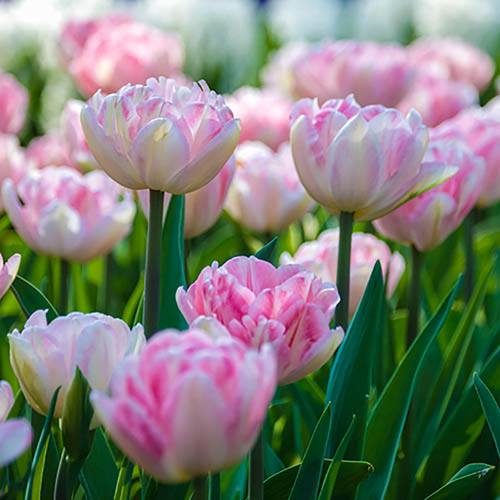 Tulip Double Pink