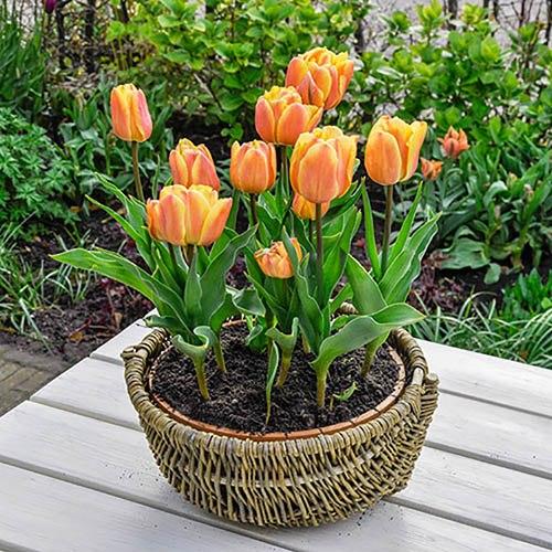 Tulip Freeman