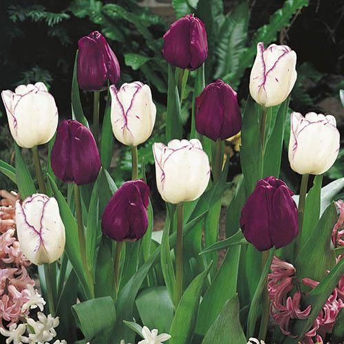 Tulip Purple & Shirley Mixed