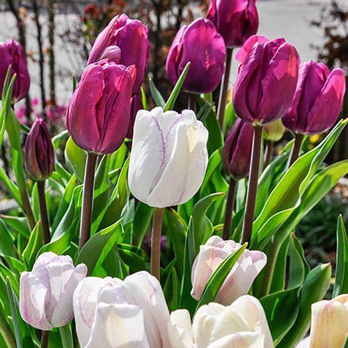 Tulip Purple & Shirley Mixed
