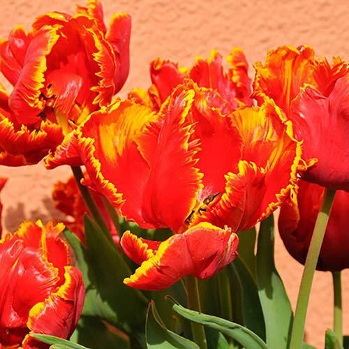 Tulip Bright Parrot