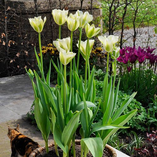 Tulip viridiflora Spring Green