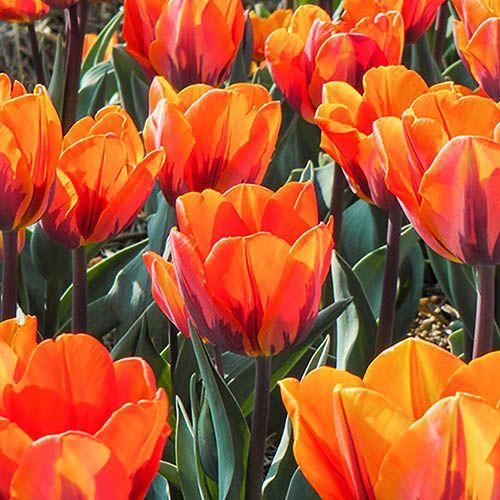 Tulip Princess Irene