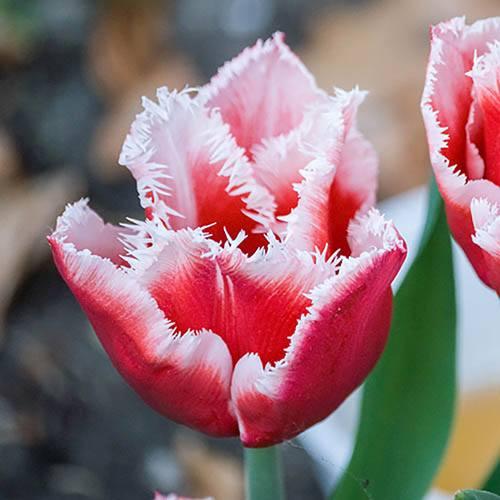Tulip Canasta