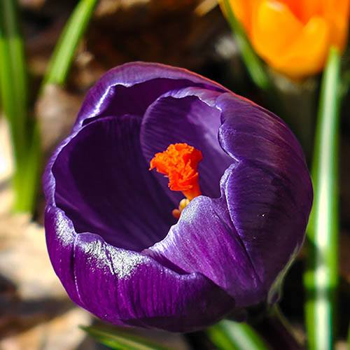 Large-Flowered Crocus Blue