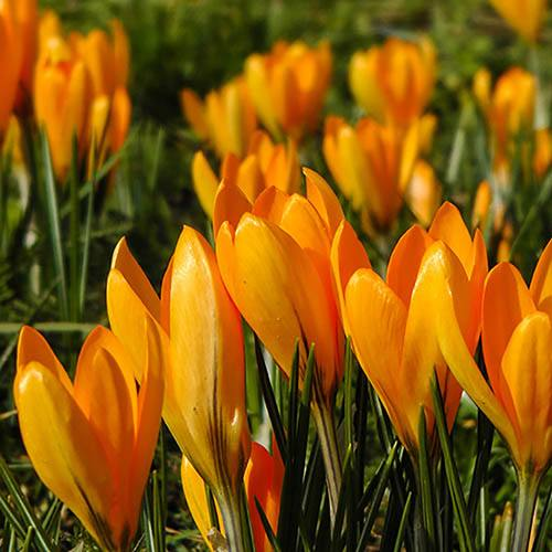 Large-Flowered Crocus Yellow