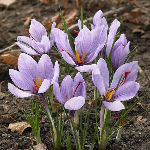 Crocus sativus bulbs (Saffron Crocus) pack of 12