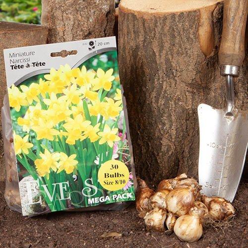 Dwarf Daffodil Narccisus Tête-à-Tête