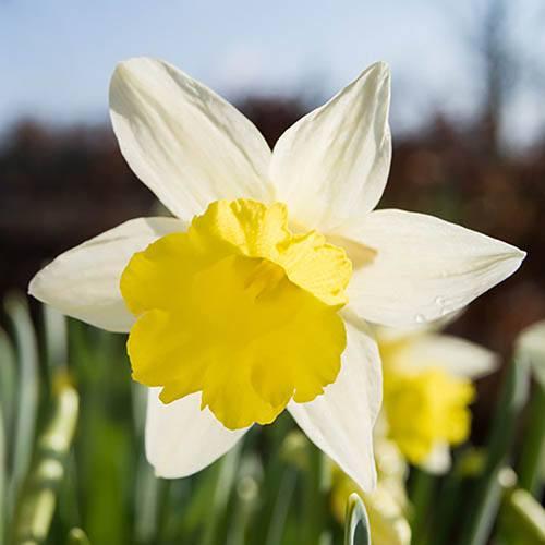 Patio Daffodil Narcissus Topolino