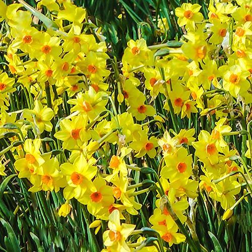 Tazetta Daffodil Narcissus Hoopoe