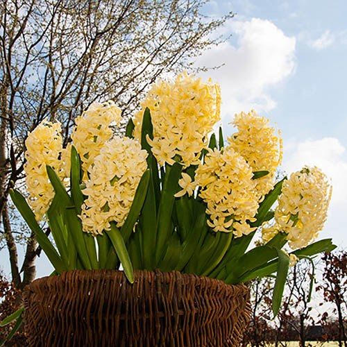Hyacinth Yellow Size:14/15 pack of 8 bulbs