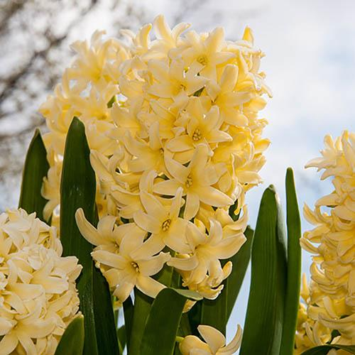 Hyacinth Yellow