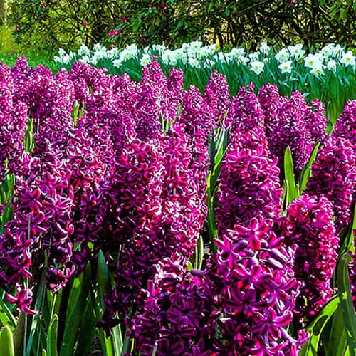 Hyacinth bulbs 'Woodstock' pack of 8