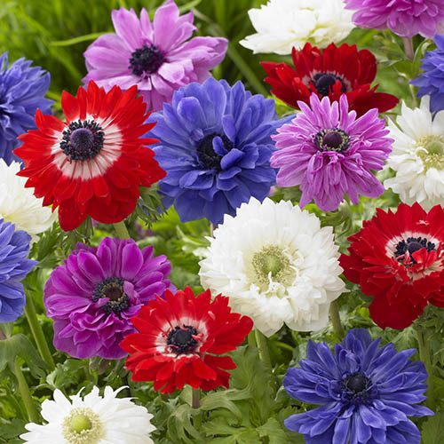 Anemone bulbs St. Brigid Mixed pack of 75