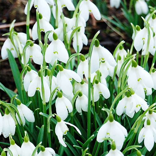 Snowdrop - Galanthus nivalis