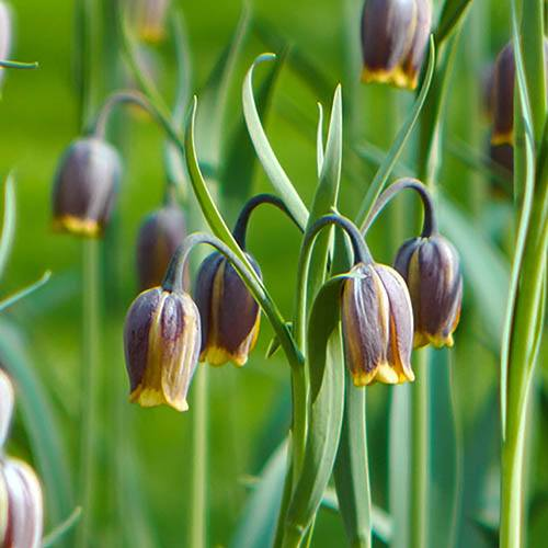 Fritillaria uva-vulpis bulbs pack of 50 bulbs 5/6