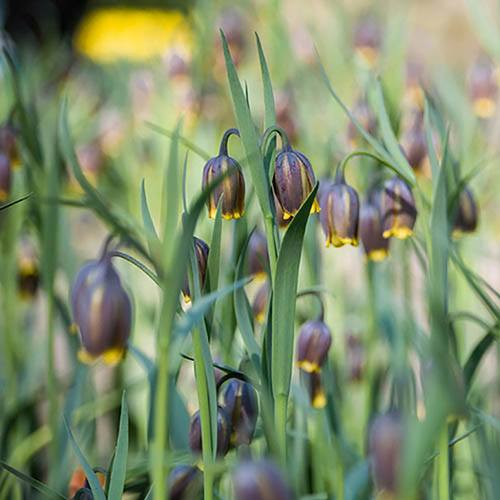 Fritillaria uva-vulpis (Foxs Grape)