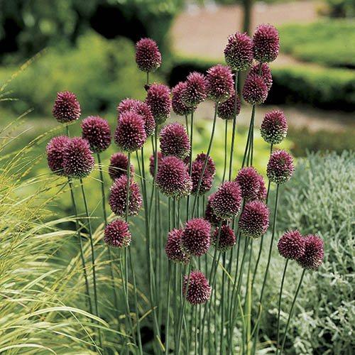 Allium sphaerocephalon Drumsticks