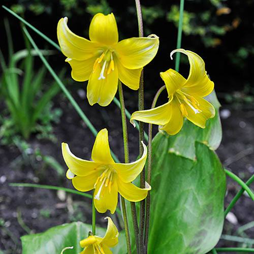 Erythronium Pagoda (Dogs Tooth Violet)