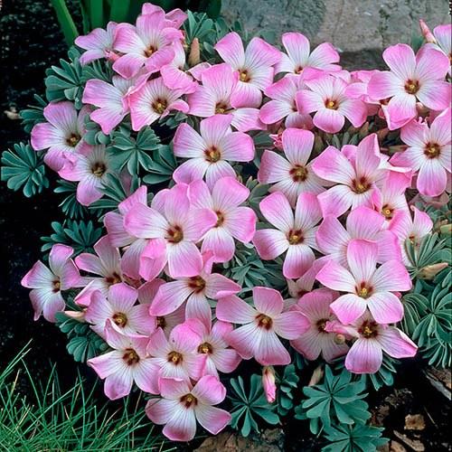 Silver Shamrock Oxalis adenophylla