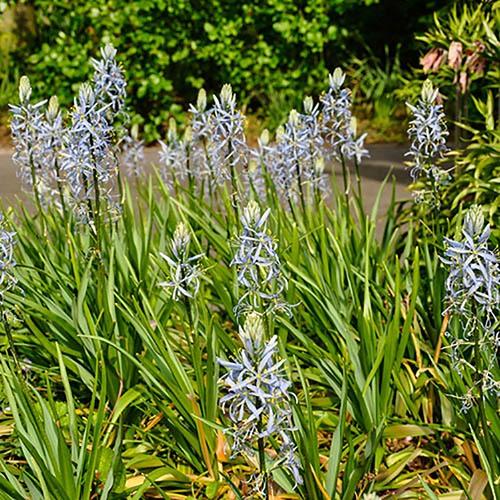 Wild Hyacinth Camassia cusickii
