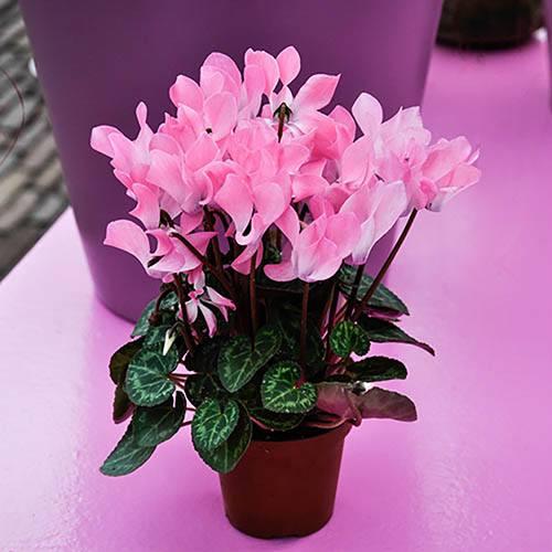 Cyclamen hederifolium pack of 3 bulbs