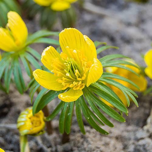 Erantis cilicica - Winter Aconites
