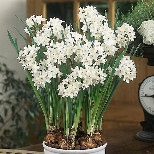 "Indoor Narcissius bulbs""Paperwhites"" pack of 5"