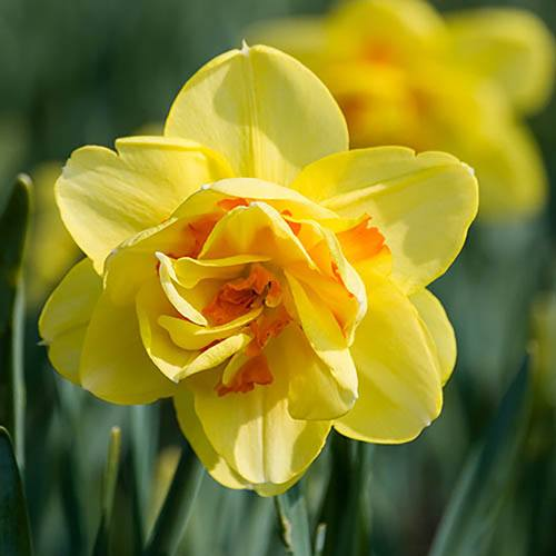 "Daffodil bulbs ""Tahiti"" pack of 10"