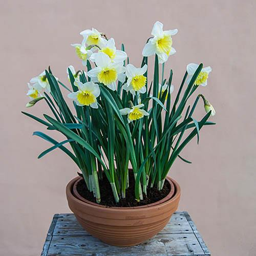 Daffodil Ice Follies