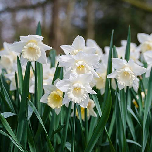 "Daffodil ""Mount Hood"" Size:12/14 pack of 10 bulbs"
