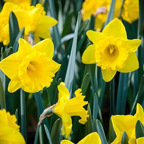 Daffodil Trumpet Yellow
