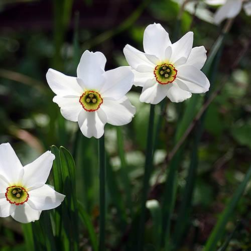 Daffodil Pheasant Eye