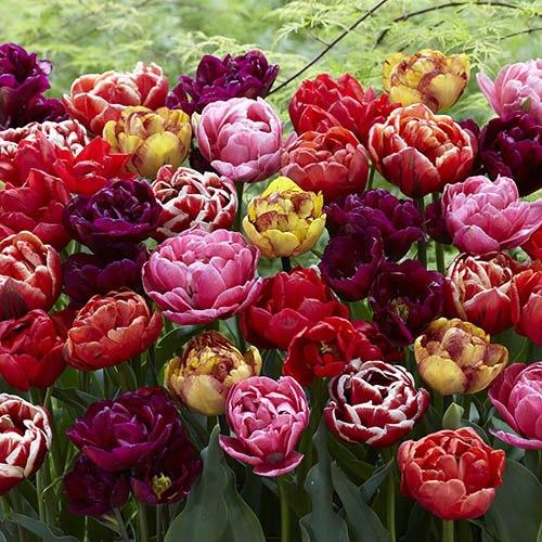 Tulip Springtime Doubles Mix
