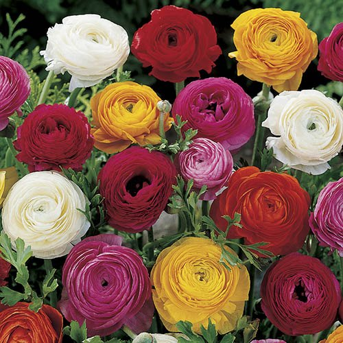 Pack of 50 Mixed Ranunculus Bulbs Size 5/6