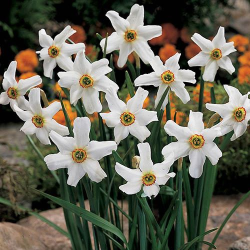 Narcissus Pheasant Eye