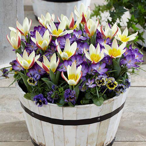 First Spring Tulip and Crocus Mix