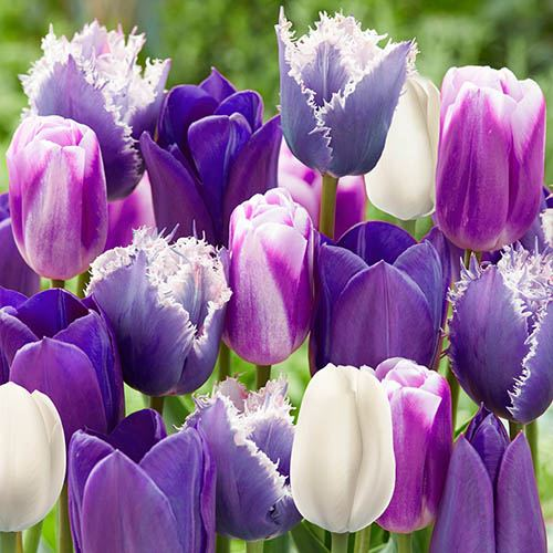 Tulip Paradise Purple Mix