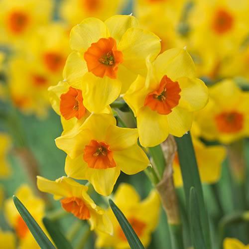 Daffodil Falconet Narcissus