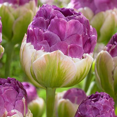 Tulip Exquisit Bulbs