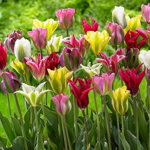 Tulip viridiflora Mix 25 Pack