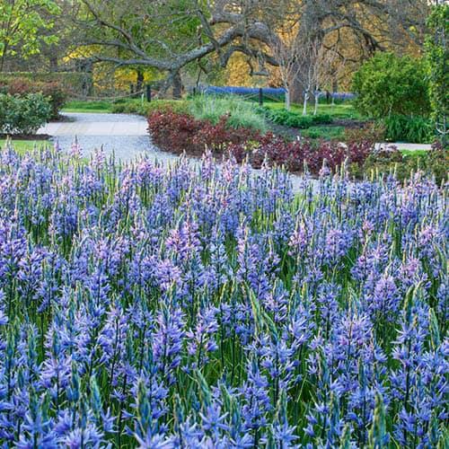 Camassia leichtlinii Blue Wild Hyacinth
