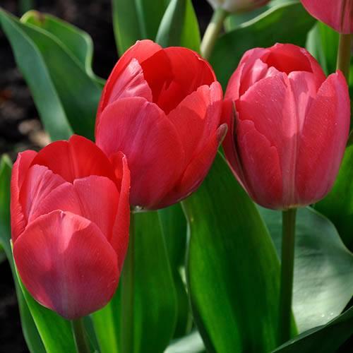 Tulip Van Eijk