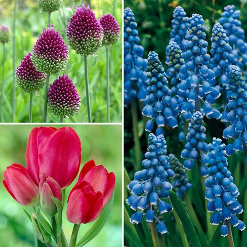 Spring Bulb Collection, Tulip, Muscari, Allium