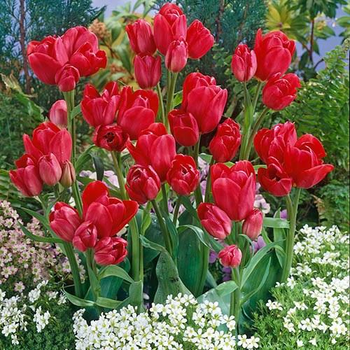 Spring Bulb Collection, Tulip, Muscari, Allium