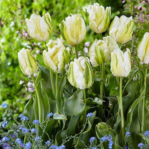 Tulip Tulipa Madonna