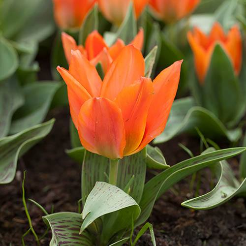 Tulip Tulipa Orange Toronto