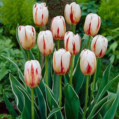 Tulip Tulipa Happy Generation