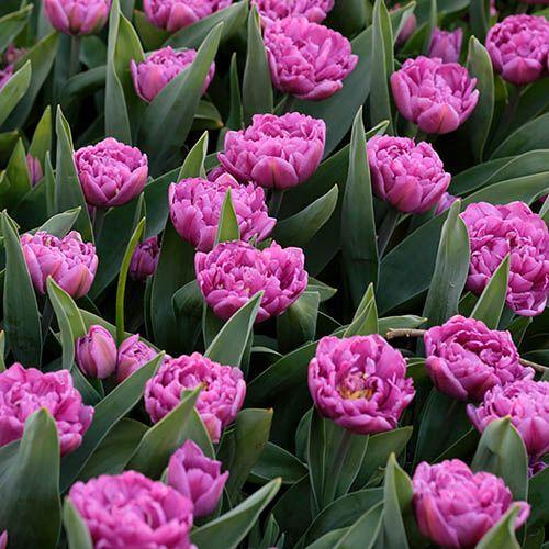 Tulip Tulipa Double Purple
